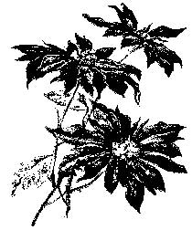 Tim Holtz Rubber Stamp POINSETTIA Stampers Anonymous M4-1972 Preview Image